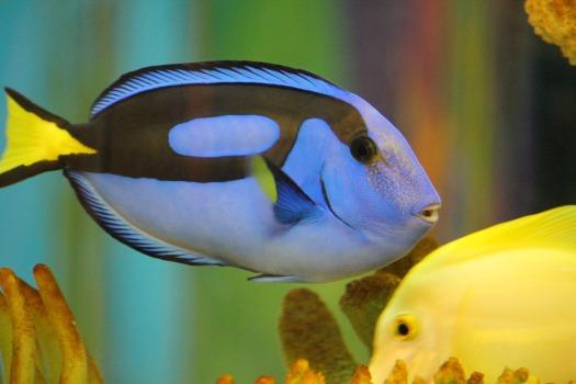 blue-tang-1288727_1920.jpg